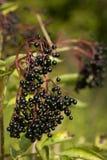 Elderberry. Black fruits elderberry on background green leaf Royalty Free Stock Photos