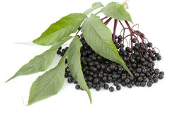 Elderberry Stock Photography