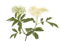 Elderberry Stock Images