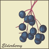 Elderberry. Vintage background with Elderberry -  illustration Stock Images