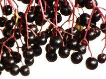 Elderberry Stock Images