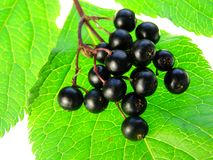 Elderberry. Close-up of bunch of black elderberry on white background Stock Photos