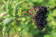 elderberry Fotografie Stock