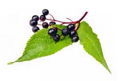 elderberry Imagem de Stock
