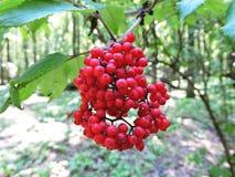 elderberry στοκ εικόνες με δικαίωμα ελεύθερης χρήσης