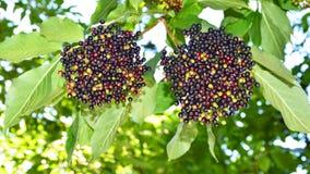 elderberry Foto de Stock