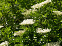 Elderberry. Closeup of a black elderberry Royalty Free Stock Images
