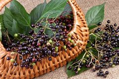 Elderberry in basket Stock Image