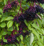 Elderberry Stock Photo