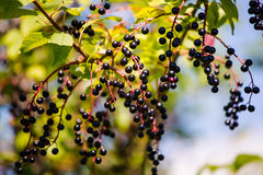 Elderberry. Black fruits elderberry on background green leaf Royalty Free Stock Photography
