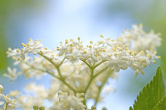 Elderberry blossom Sambucus. Elderberry Sambucus, many species are widely cultivated for their ornamental leaves, flowers and fruit Royalty Free Stock Photo