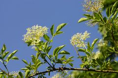 Elderberry Blossoms Stock Images