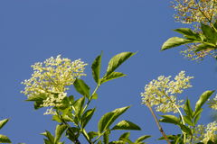 Elderberry Blossoms Stock Photography