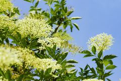 Elderberry Blossoms Royalty Free Stock Photo