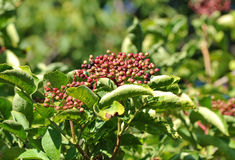 Elderberry on branch Royalty Free Stock Image