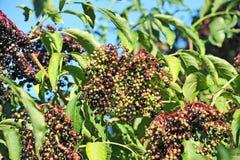 Elderberry on branch Stock Images