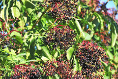 Elderberry on branch Stock Photography
