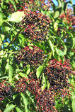 Elderberry on branch Stock Photos