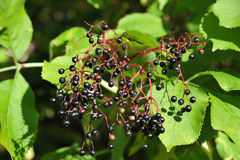 Elderberry on branch Royalty Free Stock Photography