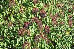 Elderberry on branch Stock Image