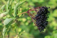 Elderberry. Branch of ripe elderberries in the garden Stock Photos