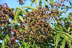 Elderberry on branch. Some elderberry on branch against the leaves Royalty Free Stock Photography