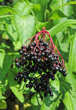 Elderberry on branch. Some ripe elderberry on branch against the leaves Royalty Free Stock Photo