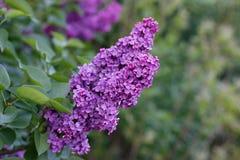 Elderberry. Closeup flowers of black elder Stock Photography