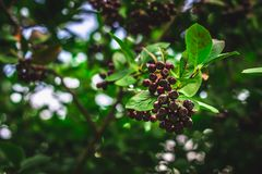 Elderberry. Closeup view of wet elderberry\'s bunch over green leaves. Autumn forest berry after rain, soft focus. Elderberry. Closeup view of wet elderberry\'s Stock Photos
