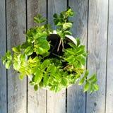 Elderberry Cuttings Stock Photo