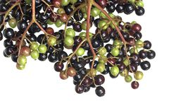 Elderberry Detail Royalty Free Stock Photography