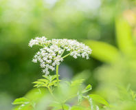 Elderberry flower Royalty Free Stock Images