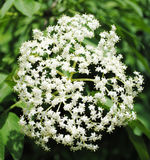 Elderberry flower Royalty Free Stock Photos