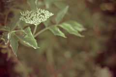 Elderberry flower Royalty Free Stock Photography