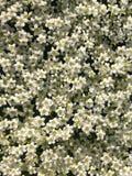 Elderberry flower Stock Images