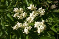 Elderberry Flower in the Sun Stock Photos