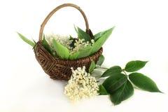 Elderberry flowers Stock Image