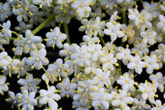 Elderberry flowers background Royalty Free Stock Photography