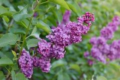 Elderberry. Flowers of black elder, violet varietie garden Stock Photos