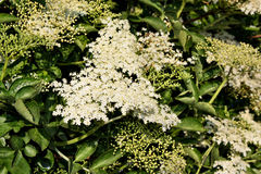 Elderberry flowers Royalty Free Stock Photos