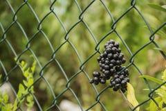 Elderberry. Fresh black imprisoned without fence Stock Photography