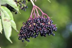 Elderberry Fruit. On a green background Royalty Free Stock Photos