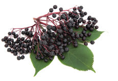 Elderberry Fruit Stock Photography