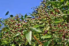 Elderberry fruits Royalty Free Stock Image