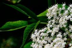 Elderberry gałąź na tle liście Fotografia Stock