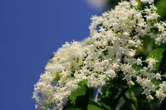 Elderberry gałąź przeciw niebu Fotografia Royalty Free