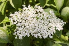 Elderberry inflorescence Stock Photos
