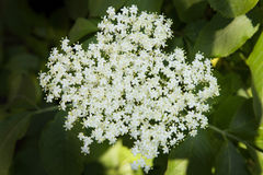 Elderberry inflorescence Stock Images