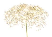 Elderberry kwiaty odizolowywający Zdjęcie Royalty Free