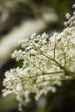 elderberry lacey Стоковое Фото